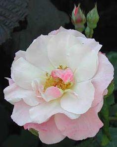 Clair Matin ou Grimpant Clair matin, offre ses roses en bouquets, aux boutons rouge foncé s'ouvrant en fleurs semi-doubles en coupes généreuses. Elles sont légèrement orangées lors de l'éclosion puis de plus en plus roses et pâles. La première floraison au printemps est longue et magnifique, la seconde à l'automne l'est tout autant. Parfum très doux, à dominante fruitée. Médaille d'or à Bagatelle en 1960. Meilland, 1960.