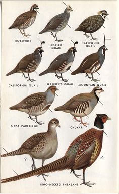Birds Of The Sierra Quail Chukar Amp Ptarmigan Plate 16