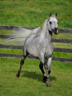 Sateen - Grey Arabian Stallion