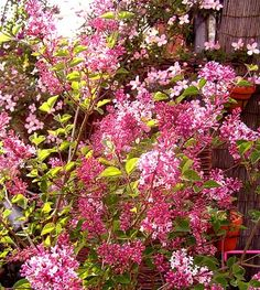 Lilacs.  I love how fragrant they are!