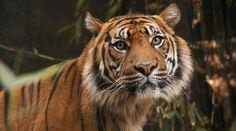 Leuser Tigre de Sumatra