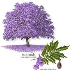 Jacaranda tree, native to warmer South American climates, turns a lush lilac purple with dense bluebell-shaped florets.