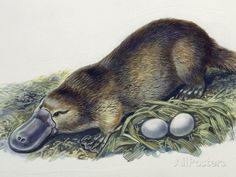 size: Giclee Print: Close-Up of a Female Duck-Billed Platypus with Two Eggs (Ornithorhynchus Anatinus) : Entertainment Reptiles, Mammals, Amphibians, Tasmania, Duck Billed Platypus, Australia Animals, Animal Facts, Cool Art Drawings, Beauty Art