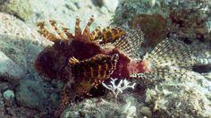 Bannerfish bay dive site Dahab Egypt Juvenile Scorpionfish (Scorpaenidae) | Flickr - Photo Sharing!