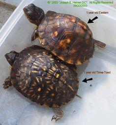 1 Year old Eastern and Three-Toed box turtles Box Turtles, Land Turtles, Cute Turtles, Pet Turtle Care, Box Turtle Habitat, Sea Turtle Wallpaper, Freshwater Turtles, Eastern Box Turtle, Kawaii Turtle