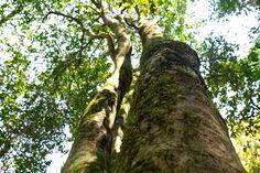 Ancient Tea Tree - Yunnan China