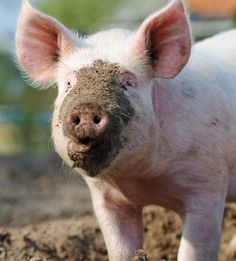 Pigs are mammals with stocky bodies, flat snouts, small eyes and large ears. They are highly intelligent, social animals, and are found all over the world.
