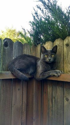 Russian Blue Cats - Post with 0 votes and 77 views. Dali likes to sit on the fence under my window and meow up to me until I go outside to love her. Grey Cats, Blue Cats, Beautiful Cats, Animals Beautiful, Beautiful Lines, Kittens Cutest, Cats And Kittens, Siamese Cats, Animals And Pets