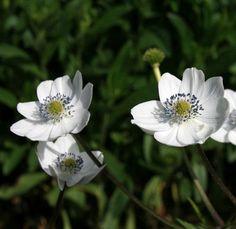 """Woodland Anemone Perennial - Anemone leveillei - 4"""""""" Pot"""