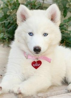 Wonderful All About The Siberian Husky Ideas. Prodigious All About The Siberian Husky Ideas. Cute Dogs And Puppies, I Love Dogs, Pet Dogs, Dog Cat, Pets, Doggies, Lab Puppies, Baby Dogs, Beautiful Dogs