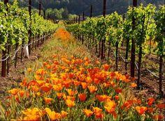 poppies in vineyards