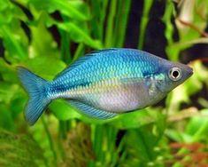 Blue-Rainbow-Tropical-Fish-Peaceful-and-Colourful-Community-Fish #TropicalFishAquariumIdeas