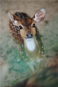 A beautiful spotted deer looking up towards the camera.