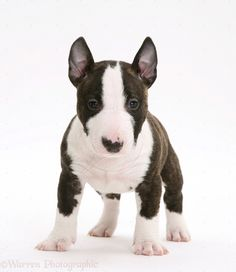 Image from http://www.bullytree.com/wp-content/uploads/2014/03/Miniature-Bull-Terrier-Brindle-Pup.jpg.