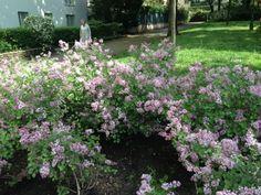 Spring wild lilac