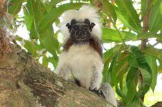 Mono Titi cabeciblanco. Colombia