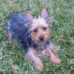 Australian Silky Terrier: Australian Silky Terrier Grass ~ petsrank.com Dogs Inspiration