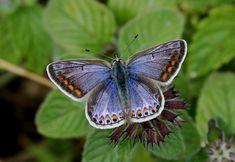 Common Blue - Butterflies of Europe - Polyommatus icarus