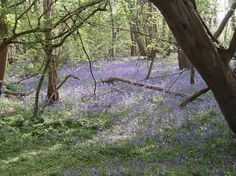 Norsey Wood near Billericay. Best bluebell wood in the south east.