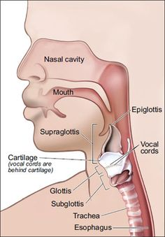 This picture shows the main parts of the larynx—the supraglottis, glottis, and subglottis. Head Anatomy, Human Body Anatomy, Human Anatomy And Physiology, Voice Therapy, Speech Therapy, Speech Language Pathology, Speech And Language, Radiology Student, Articulation Therapy