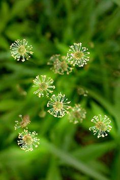 ripple grass - へらおおばこ