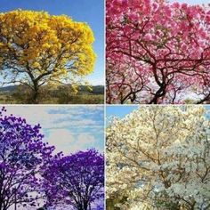 El Tajibo, a very unique tree which flowers bloom at certain times of the year Flamboyant, Colorful Trees, Plantar, Flowering Trees, Blooming Trees, Indoor Garden, Trees To Plant, Shrubs, Bunt