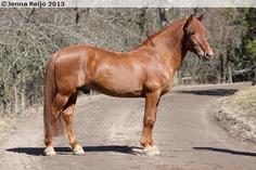 Finnhorse - stallion Vili Ponteva