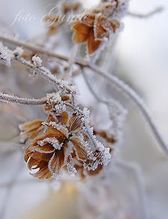 Roses of Winter    -   2008   -    Linda Gunde photography   -    https://www.flickr.com/photos/24930476@N08/3176149247/