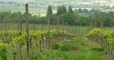 The land of Verdicchio wine