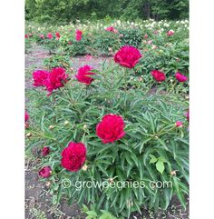 (Gilbertson, A compact plant with smaller flowers for the cutting garden as well as for the border garden. Buy Peonies, Garden Borders, Small Flowers, Peony, Countryside, Bloom, Gardens, Wine, Plants