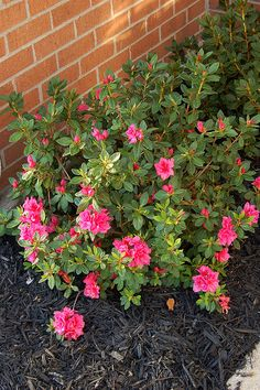 Blooms in spring, summer and fall. Averages x Light shade to full sun. Allow direct sun for best blooming. Plant in well-drained, slightly acidi (Full Width Garden Step) Pruning Azaleas, Azaleas Landscaping, Front Yard Landscaping, Shade Shrubs, Bushes And Shrubs, Azalea Bush, Front Yard Plants, Landscape Curbing, Boxwood Hedge