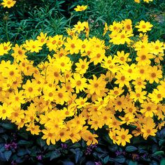 Coreopsis Creme Brulee - Butterflies love its 4 to 5 months of blooms. Zone 4-9