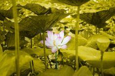 Lotus by Tom Gà on 500px