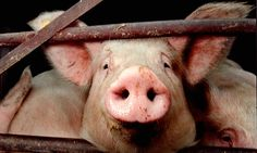 NY resolution good for you and the planet: stop eating meat. As a curious 18-year-old, I researched how a pig becomes a pork chop. It turned me into a vegetarian.