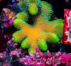 Jason Fox Signature Corals, Jason Fox Signature Frags, Jason Fox, reef, coral, My Miami, LE, Limited Edition, SPS, LPS, zoanthid, chalice, montipora, acropora, frag swap, swap, tank, aquarium, hobby, JF, frag pack, frag, pectinia, pacific east, dr mac, wwc, tyree, vivid, fish, JF, propagation,