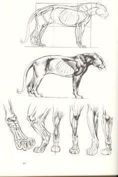The art of animal drawing by ken hultgren anatoref - anatomy Lion Anatomy, Anatomy Study, Anatomy Art, Anatomy Reference, Art Reference, Animal Sketches, Animal Drawings, Art Sketches, Anatomy Sketches