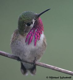 Calliope Hummingbird (smallest hummer in US.
