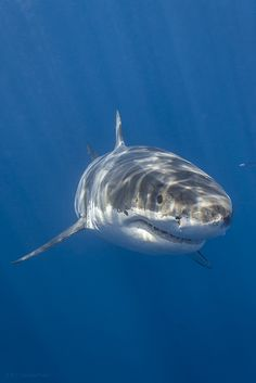 The Great White Shark, (Carcharodon carcharias) can be found in all waters surrounding Australia.  Growing up to 6 meters long and weighing over 2 tons, it is the largest predator fish.  It preys on sea mammals and birds and is well known for attacking people.