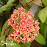 Hoya siariae 'Red Form' Plant