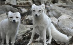 Sly and Vixen Arctic Foxes