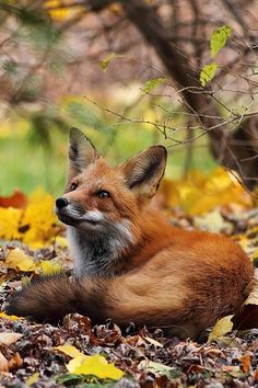 Gardening Autumn - Fox in the leaves ~ By Ann Brokelman on imgfave - With the arrival of rains and falling temperatures autumn is a perfect opportunity to make new plantations Nature Animals, Animals And Pets, Baby Animals, Cute Animals, Autumn Animals, Strange Animals, Beautiful Creatures, Animals Beautiful, Fuchs Baby
