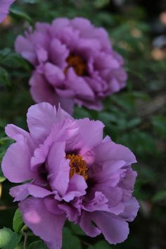 Purple flowers are a great way to add interest to your yard or landscape. See some of our favorite purple garden flowers! Peonies And Hydrangeas, Purple Peonies, Peonies Garden, Purple Flowers, Yellow Roses, Pink Roses, Exotic Flowers, Amazing Flowers, Beautiful Flowers