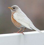 "The blogger calls this an ""albino"" Robin, but it's obviously not.  It is some rare white variant, though."