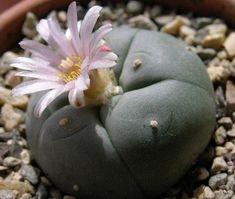 Bu Bitki Delirtiyor  Bitkisel bilgiler bitkilerin faydaları şifalı bitkiler   Sağlıklı Bitkiler