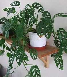 Easy To Grow Houseplants Clean the Air Philodendron Monstera Obliqua Hanging Plants, Potted Plants, Garden Plants, Foliage Plants, Flowering Plants, Hanging Baskets, Herb Garden, Monstera Obliqua, Philodendron Monstera