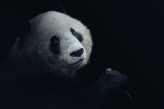 ZOO Showcase- Photo portfolio album by David Drbal. I enjoy capturing the beauty of these amazing animals that share the earth with us. Panda Bear, Mammals, Photography, Behance, David, Earth, Album, Amazing, Photograph