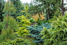tex-oregongarden.com - Maryanne - the garden: Conifer Gardens - several more good pictures at this site