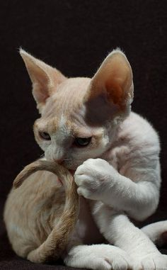 """""""This is my tail, thin but not frail, elegant ears, claws sharp as nails, heart big and warm, fur soft and pale,  I'm incomplete without you, that is my tale..... Ingesloten afbeelding"""