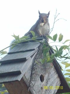 House Squirrel