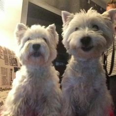 Owner: Isabel Richter. Via the West Highland White Terrier FB page.